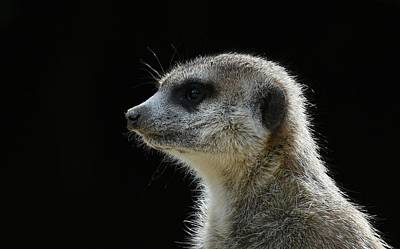 Photograph - Meerkat Portrait by Fraida Gutovich