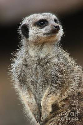 Photograph - Meerkat Pose by Vicki Spindler