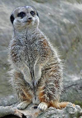 Meerkat Poses Art Print