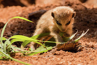 Photograph - Meerkat Pup Learning To Forage by Dawn Currie