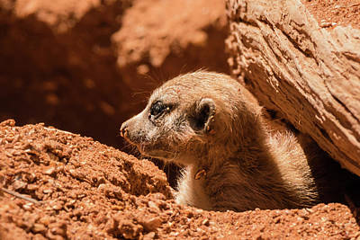 Photograph - Meerkat Pup Profile by Dawn Currie