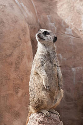Photograph - Meerkat Sentry 1 by Tom Potter
