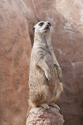 Photograph - Meerkat Sentry 2 by Tom Potter