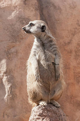 Photograph - Meerkat Sentry 5 by Tom Potter