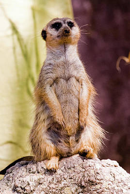 Photograph - Meerkat Sentry by Digartz - Thom Williams
