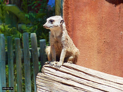 Meerkat Wall Art - Photograph - Meerkat Sentry by Methune Hively