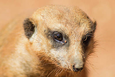 Photograph - Meerkat by Shannon Harrington