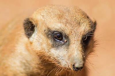 Photograph - Meerkat by Shannon Harrington