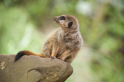 Photograph - Meerkat by Stewart Scott