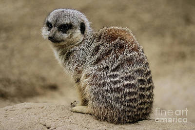 Photograph - Meerkat by Suzanne Luft