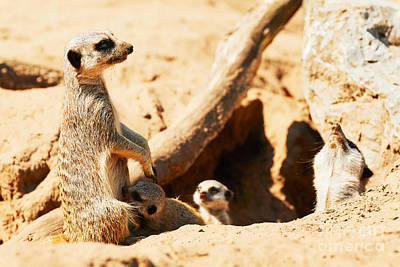 Photograph - Meerkat With Babies  by Nick  Biemans