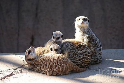 Photograph - Meerkats 20150117_198 by Tina Hopkins