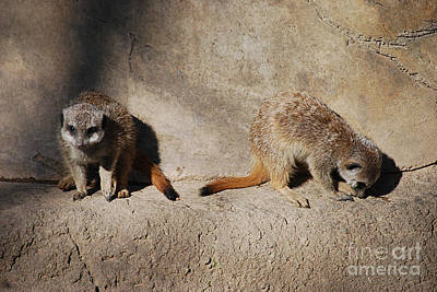 Photograph - Meerkats 20150117_213 by Tina Hopkins