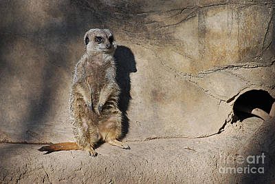 Photograph - Meerkats 20150117_215 by Tina Hopkins