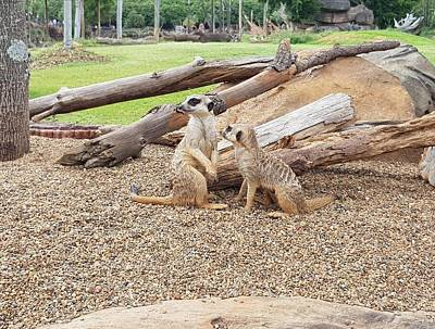 Photograph - Meerkats  by Cassy Allsworth