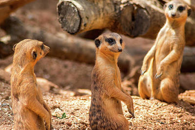 Photograph - Meerkats by Shannon Harrington
