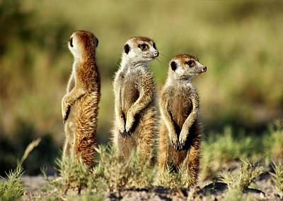 Meerkats Three Art Print by Bruce W Krucke
