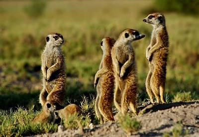Meerkats Watching Everywhere Art Print by Bruce W Krucke