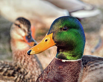 Photograph - Meet Mr. And Mrs. Mallard by Bill Swartwout