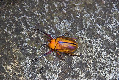 Meet The Beetle From Biblian - Ecuador Art Print by Al Bourassa