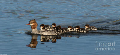 Meet The Mergansers Art Print