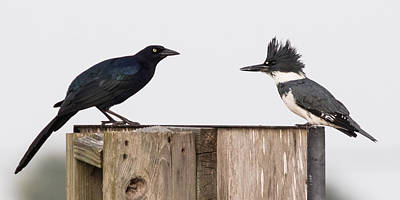 Belted Kingfisher Wall Art - Photograph - Meeting Beak To Beak by Jurgen Lorenzen