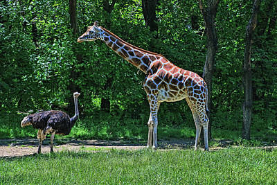 Photograph - Meeting Of The Long Necks by Allen Beatty