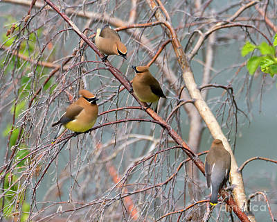 Cedar Waxwing Photograph - Meeting Of The Waxwings by Mike Dawson