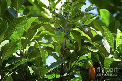 Photograph - Megalaima Flavifrons by Venura Herath