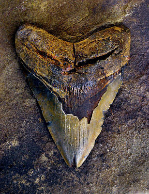 Photograph - Megalodon Tooth - 8401 by Paul W Faust - Impressions of Light