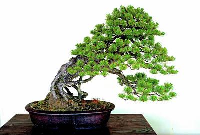 Photograph - Meiji Shrine Black Pine Bonsai by Robert Meyers-Lussier