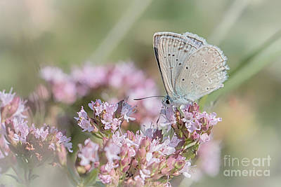Meleagers Blue Butterfly Art Print