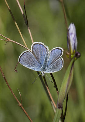 Photograph - Melissa Blue Butterfly by Betty Depee