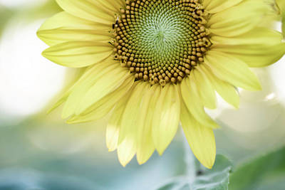Photograph - Mellow Sunflower by Tracy Winter