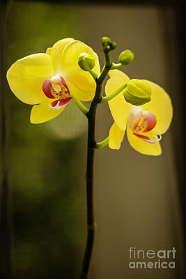 Photograph - Mellow Yellow Orchids by Sabrina L Ryan