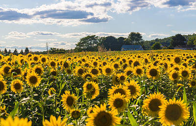 Sunflowers Royalty-Free and Rights-Managed Images - Mellow Yellows by Kristopher Schoenleber