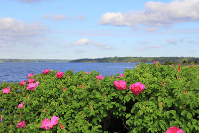 Distance Photograph - Melmerby Beach Wild Rose by Kathleen Sartoris