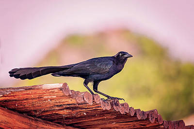 Photograph - Melodious Blacbird by Peter Lakomy