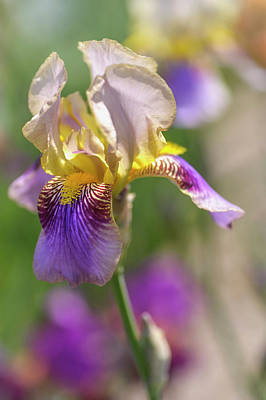 Photograph - Melodist 1. The Beauty Of Irises by Jenny Rainbow