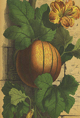 Watermelon Drawing - Melon, Vine And Flower by German Engraver
