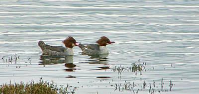 Photograph - Common Merganser Ducks by Marilyn Wilson