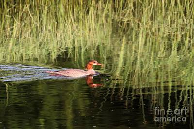 Photograph - Merganser In The Reeds by Debbie Stahre