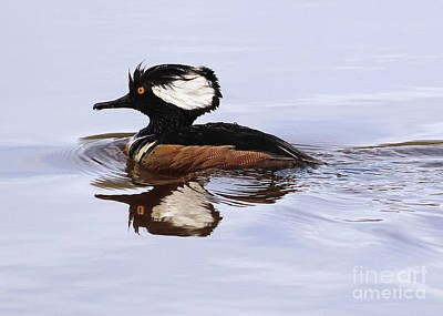 Photograph - Merganser Mirror by Art Cole