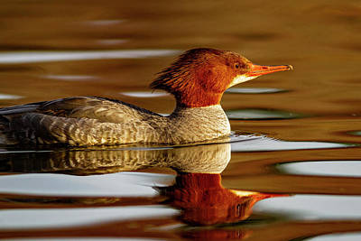 Photograph - Merganser Reflection by Mark Miller