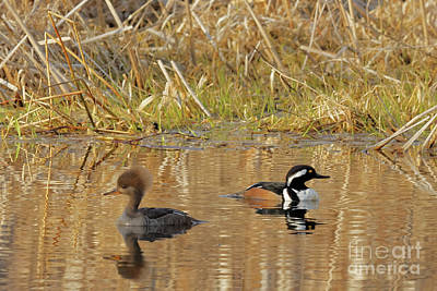 Photograph - Merganser Spring by Natural Focal Point Photography