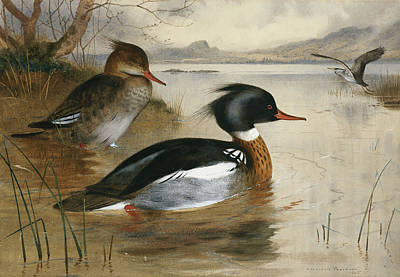 Loch Painting - Mergansers, On Loch Maree by Archibald Thorburn