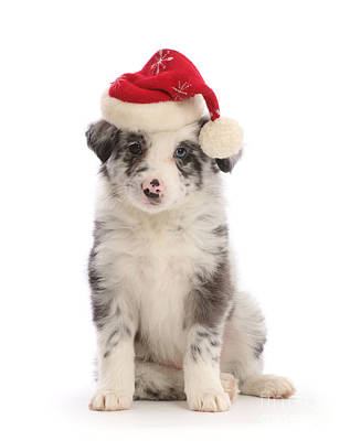 Photograph - Merle Santa Pup by Warren Photographic
