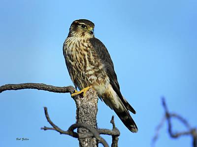 Photograph - Merlin by Bob Zeller