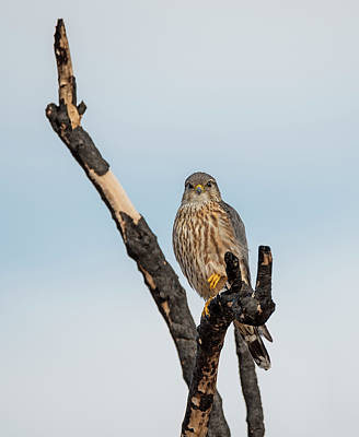 Photograph - Merlin On A Burnt Branch by Loree Johnson