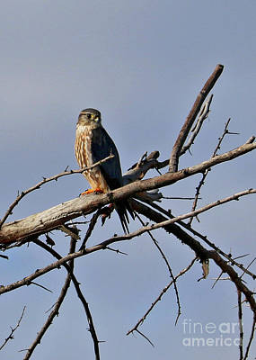 Photograph - Merlin On Branch by Carol Groenen